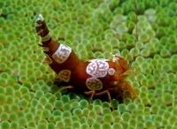 Танцующая анемоновая креветка (Thor Amboinensis)