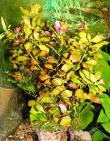Ludwigia palustris - emerseЛюдвигия болотная