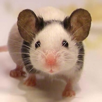 Мышка Японская