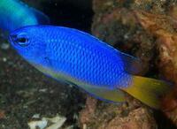 Помацентрус неоновый, Неоновая рыба-ласточка