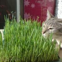 ТРАВКА (вермикулит+овёс) для кошек