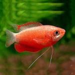 Колиза или Гурами Медовый Красный /Colisa Labiosus