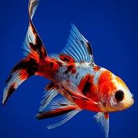 Шубункин - золотая рыбка