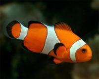 Рыбка-клоун (Amphiprion ocellaris)