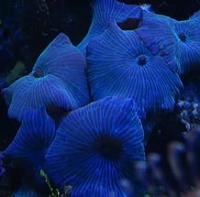 Дискоактиния синяя (Actinodiscus Sp Blue)