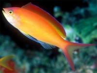 Антиас лирохвостый огненный (Pseudanthias ignitus)
