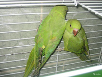 Ожареловый попугай