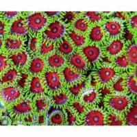 Зоантусы цветные (Zoanthus Colors)