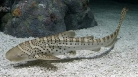 Акула зебровая Stegostoma fasciatum Zebra shark