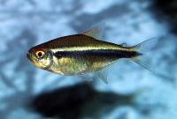 Черный неон (Hyphessobrycon herbertaxelrodi)