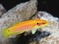 БОДИАН ДВУХТОЧЕЧНЫЙ (Bodianus bimaculatus, twospot hogfish)