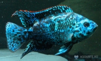 """Блю демпси"""" (Archocentrus octofasciatum """"Blue Dempsy"""")"""