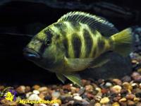 Леопард золотой (Nimbochromis venustus)