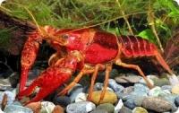 Красный флоридский рак (Procambarus clarkii)