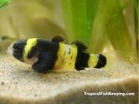 Бычок-пчелка