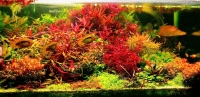 Людвигия ред (Ludwigia palustris super red)