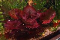 Нимфея или кувшинка тигровая (Nymphaea lotus)