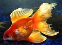 Вуалехвост Красный  (Carassius Auratus)