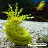 Голотурия желтая, морской огурец желтый (Colochirus robustus)