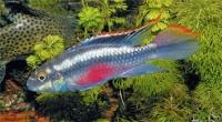 Попугаичик (Pelvicachromis pulcher)