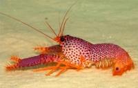 Омар рифовый красный (Enoplometopus occidentalis)