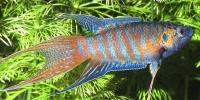 Макропод обыкновенный (лат. Macropodus opercularis)