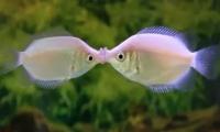 Гурами целующийся (Helostoma temminckii)