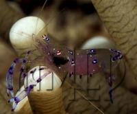 Креветка-симбионт - Periclimenes holthuisi