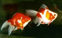 Золотая рыбка Риукин ассоти 14,0 - 15,0 см