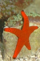 Звезда фромия красная Fromia milleperella Red sea star