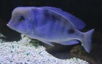 Голубой дельфин