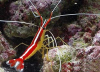 Креветка-доктор тихоокеанская (Lysmata amboinensis)