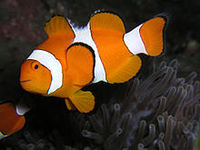 Рыба-клоун амфиприон оцеллярис (Amphiprion ocellaris)