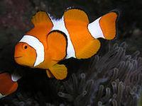 Рыба-клоун амфиприон оцеллярис (Amphiprion ocellaris)