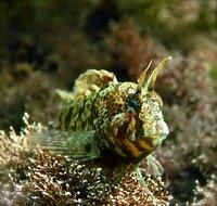Длинноперая рыба собачка Птеросцирт