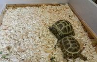 Сухопутные домашние черепахи
