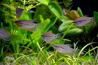 Гурами Жемчужный /Trichogaster Leerii