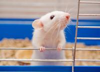 Мышка домашняя, белая