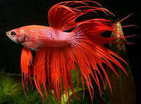 Петушок Корона Триколор, Самец /Betta Splendens, Male/  5,0 - 5,5 см