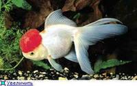 Оранда Красная Шапочка Красно - Белая 6,0 - 7,0 см