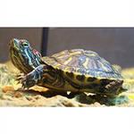 Черепаха Красноухая /Pseudemys scripta elegans/ 4,0 - 5,0 см