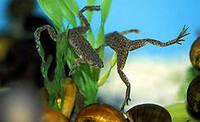 Гименохирус, карликовая водная лягушка /Hymenochirus boettgeri/