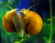 Ампулярия Желтая /Ampullaria sp./ 2,0 - 2,5 см