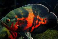 Астронотус Тигровый Красный /Astronotus Ocellatus