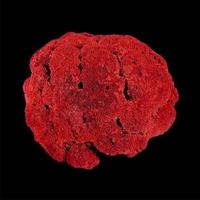 Коралл красный Органчик 12-14 см