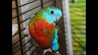 Лазурный травяной попугай