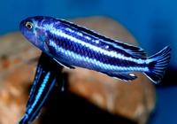 Меланохромис Йоханна /Melanochromis Johannii