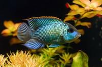 Цихлида Наннакара неоновая – рыба-загадка