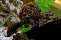 Птеригоплихт Парчовый /Glyptoperichthys Gibbiceps