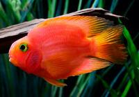 Попугай Ярко-Красный